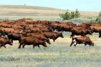 Предназначение коровы - в её образе жизни
